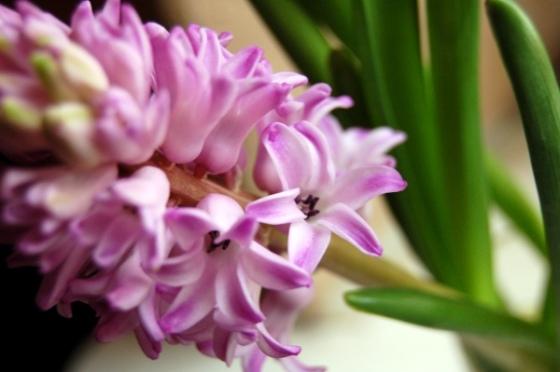 hiacinte